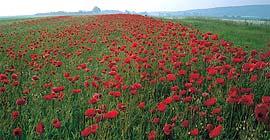 Poppy 2005